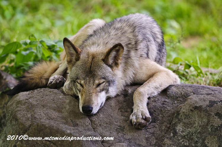 Timber Wolf Picture-390