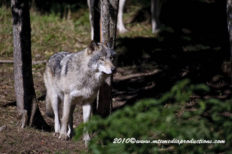 Timber Wolf Picture-392