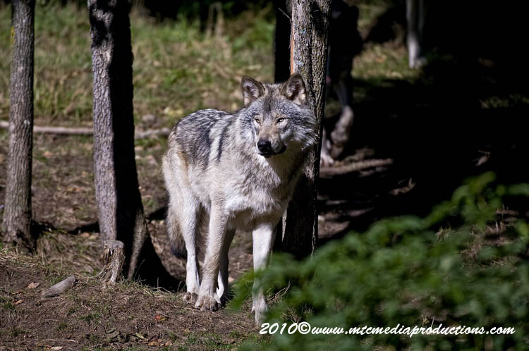 Timber Wolf Picture-393
