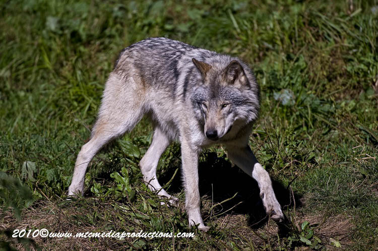 Timber Wolf Picture-394