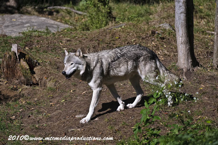 Timber Wolf Picture-395