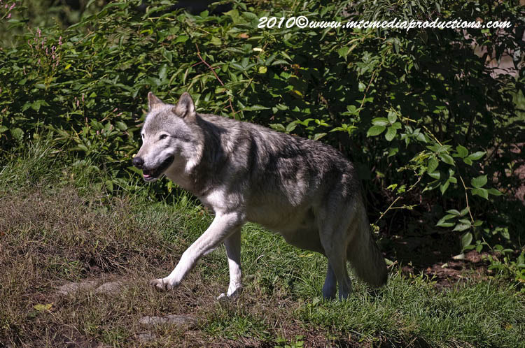Timber Wolf Picture-396