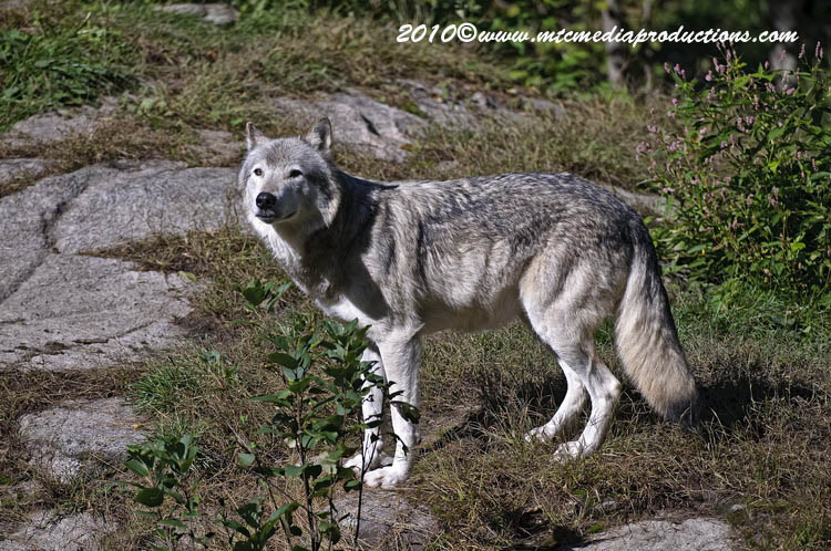 Timber Wolf Picture-397