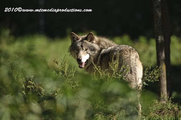 Timber Wolf Picture-398