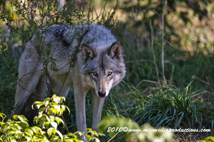 Timber Wolf Picture-399