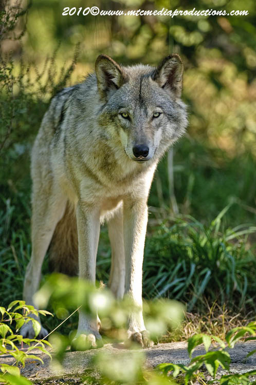 Timber Wolf Picture-400