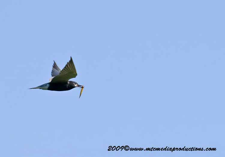Black Tern Picture-00