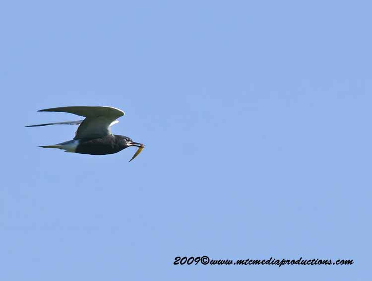 Black Tern Picture-01