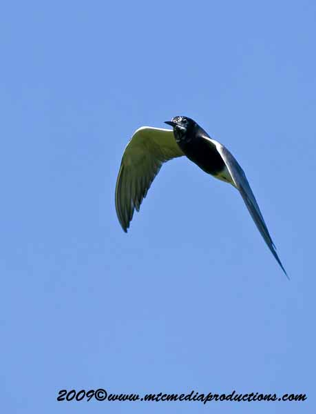 Black Tern Picture-10