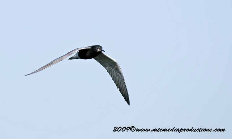 Black Tern Picture-11