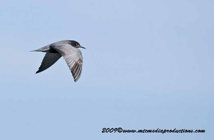 Black Tern Picture-12