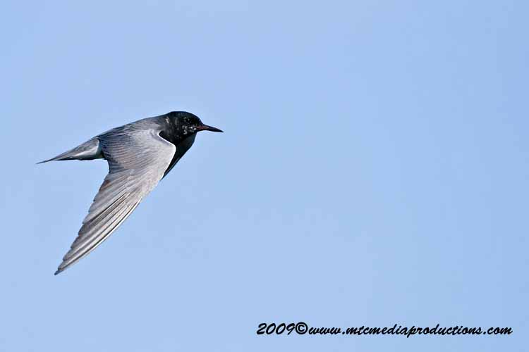 Black Tern Picture-13