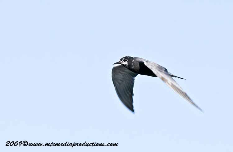 Black Tern Picture-14