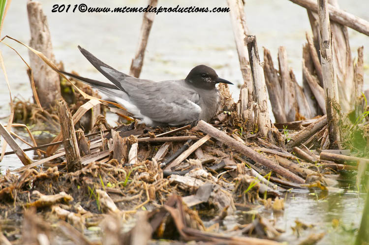 Black Tern Picture-15