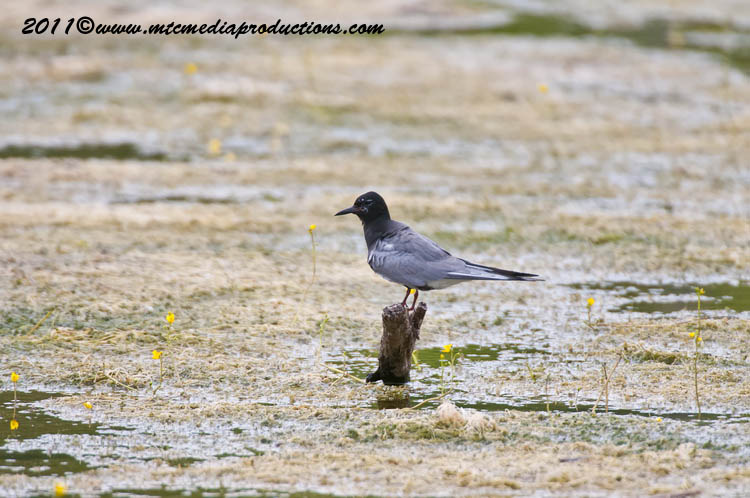 Black Tern Picture-16