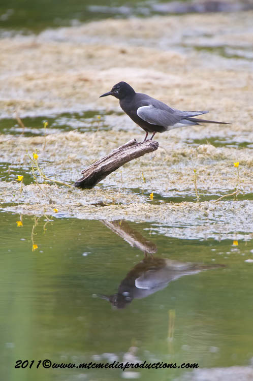Black Tern Picture-17