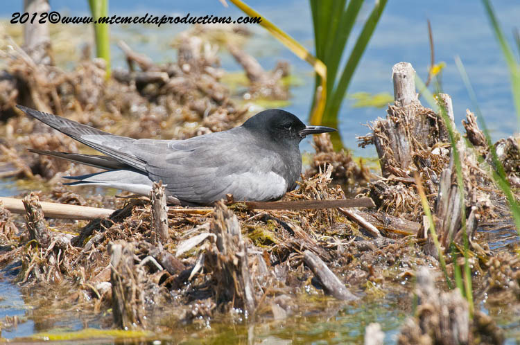 Black Tern Picture-18