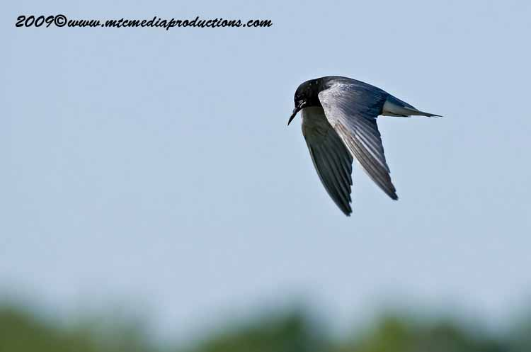 Black Tern Picture-02