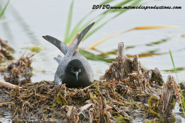 Black Tern Picture-21