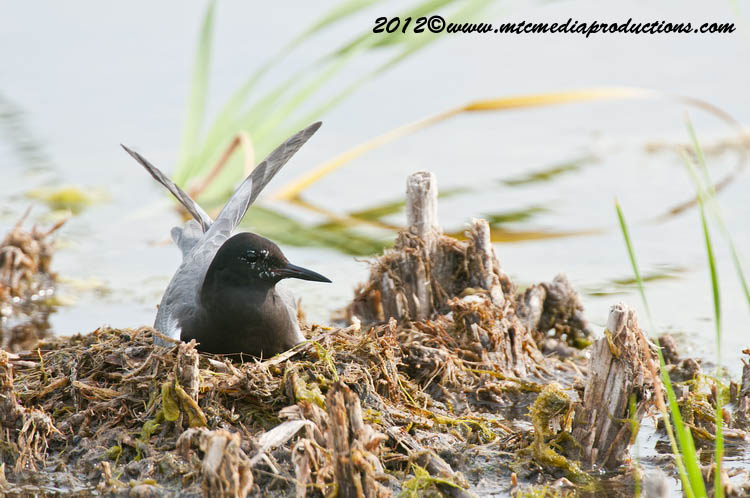 Black Tern Picture-23