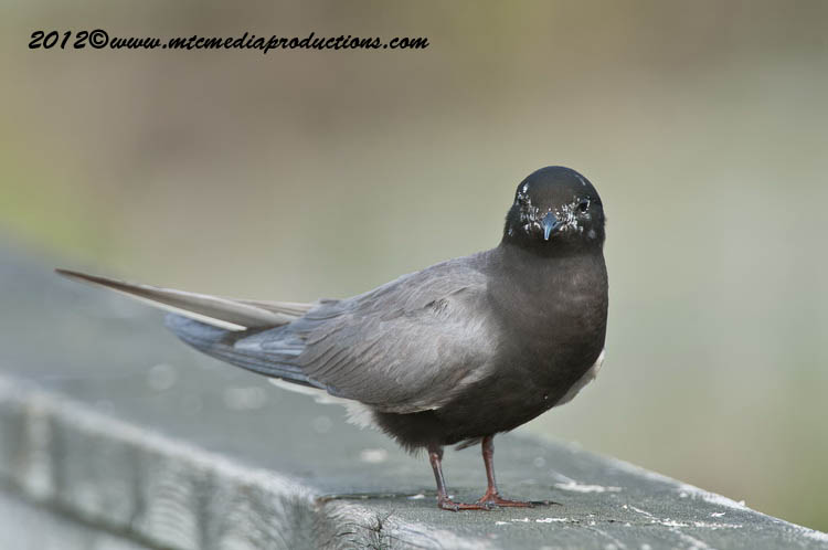 Black Tern Picture-24