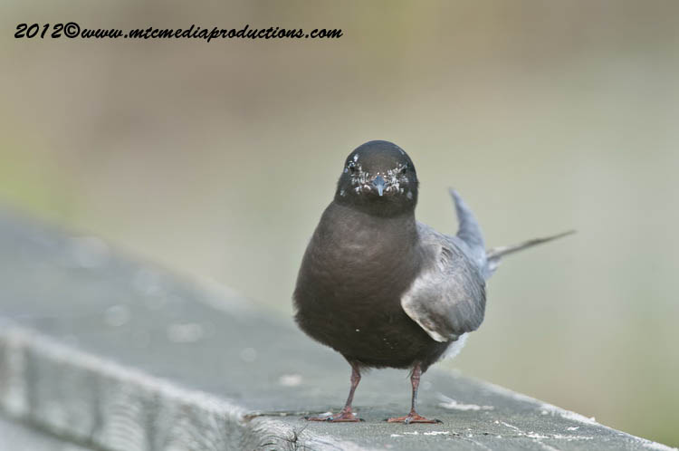 Black Tern Picture-25