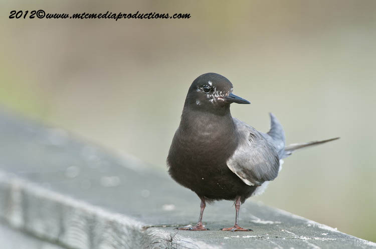 Black Tern Picture-26