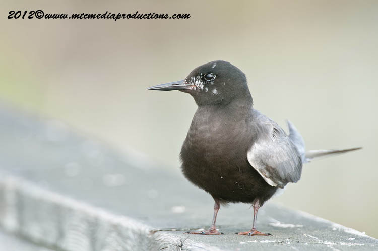 Black Tern Picture-27
