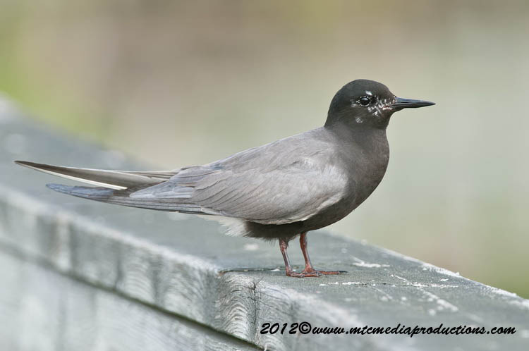 Black Tern Picture-28