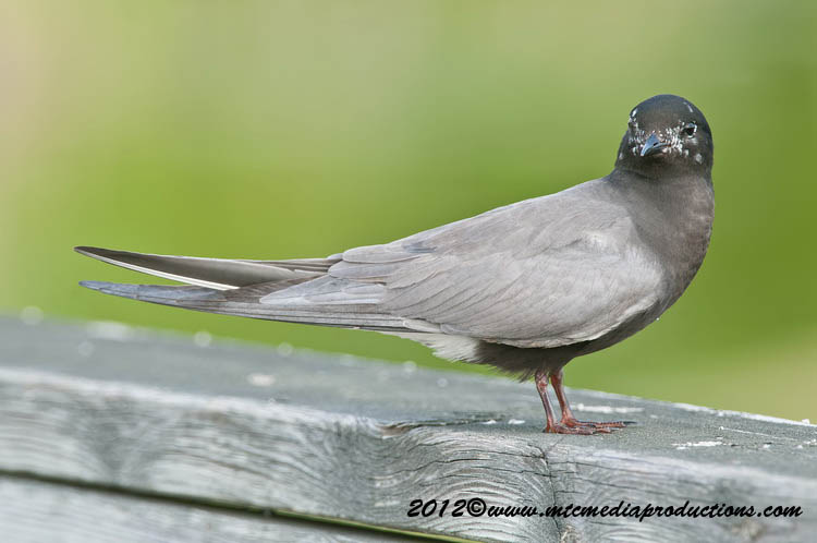 Black Tern Picture-29