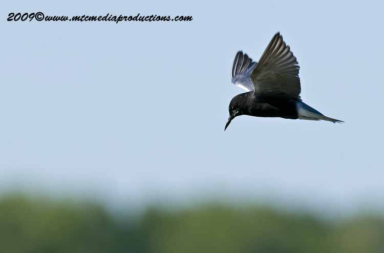 Black Tern Picture-03