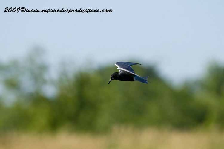 Black Tern Picture-04