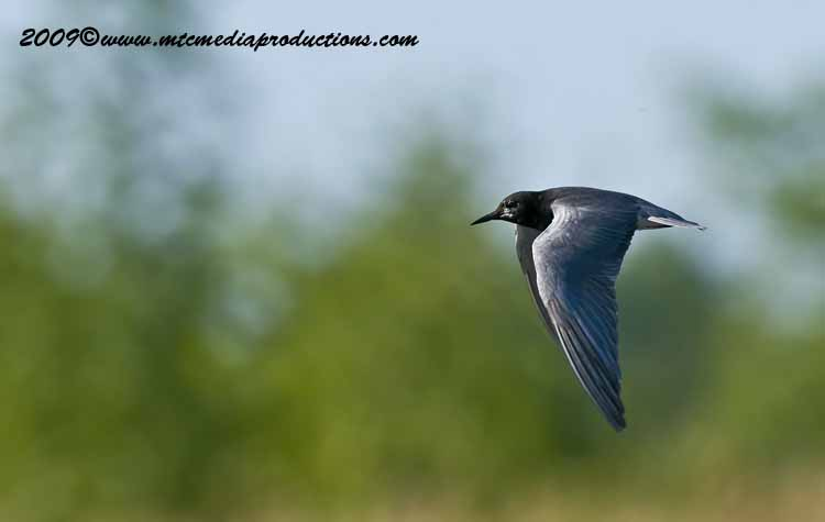 Black Tern Picture-05