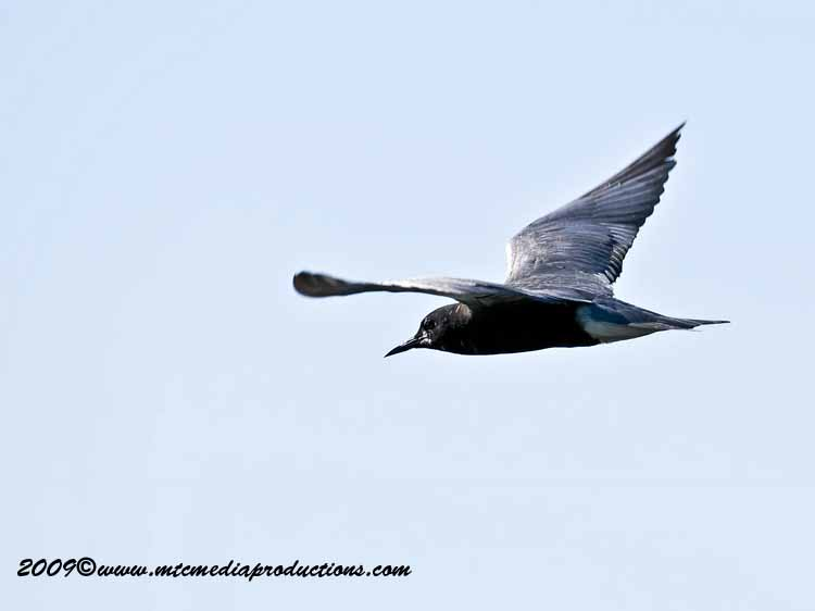 Black Tern Picture-06