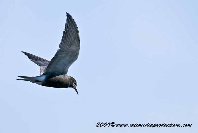 Black Tern Picture-07