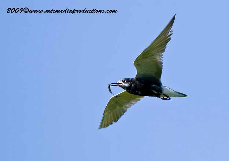 Black Tern Picture-08