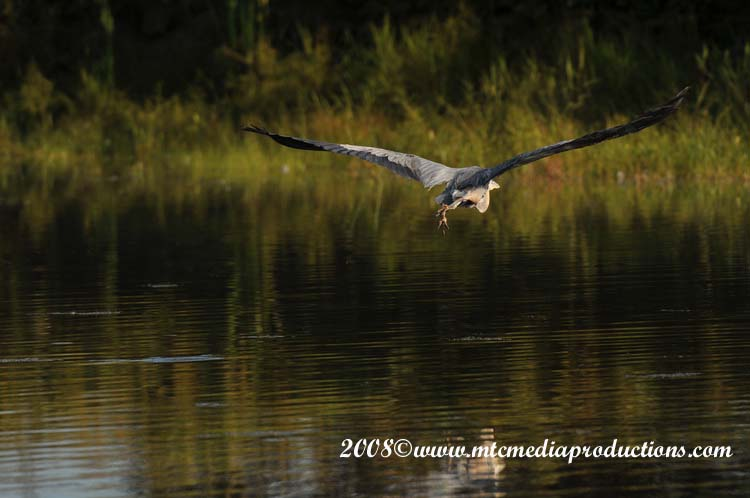 Blue Heron Picture-100