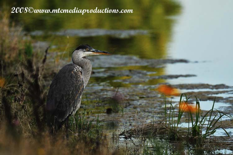 Blue Heron Picture-101