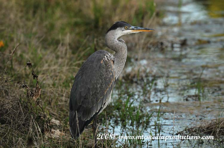 Blue Heron Picture-102