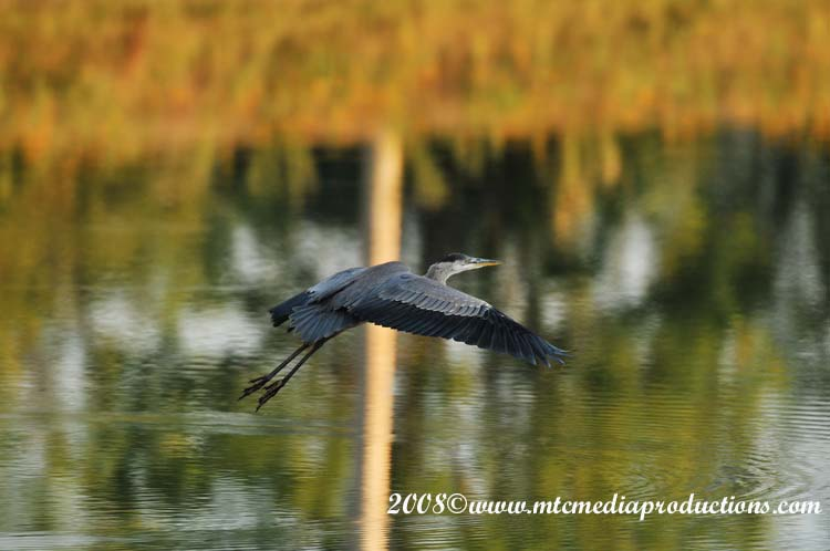 Blue Heron Picture-103