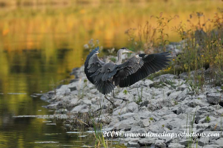 Blue Heron Picture-104