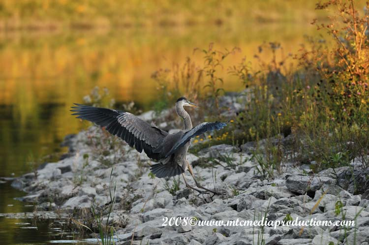 Blue Heron Picture-105