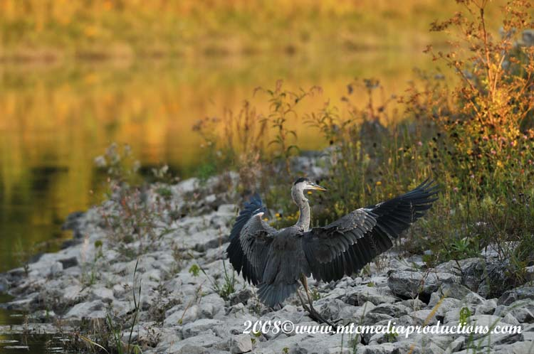Blue Heron Picture-106