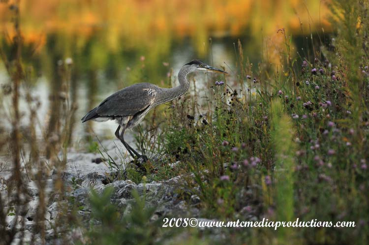 Blue Heron Picture-107