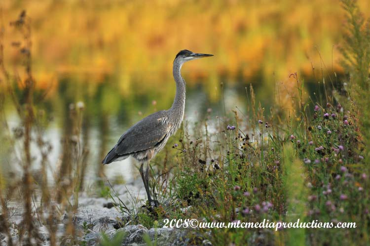 Blue Heron Picture-108