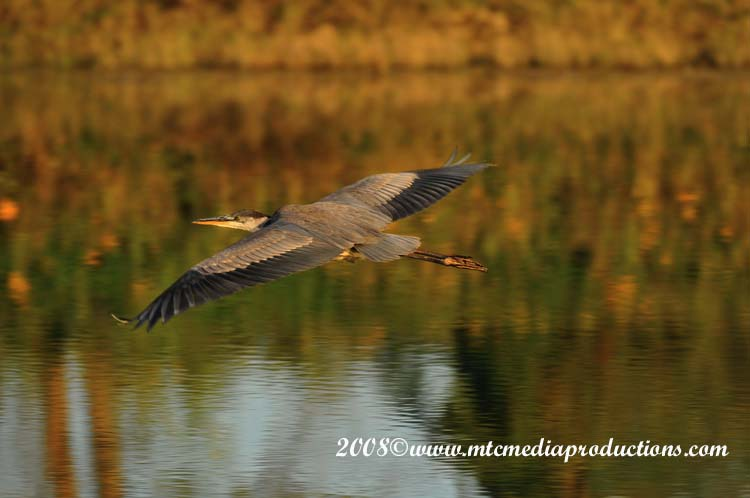 Blue Heron Picture-110