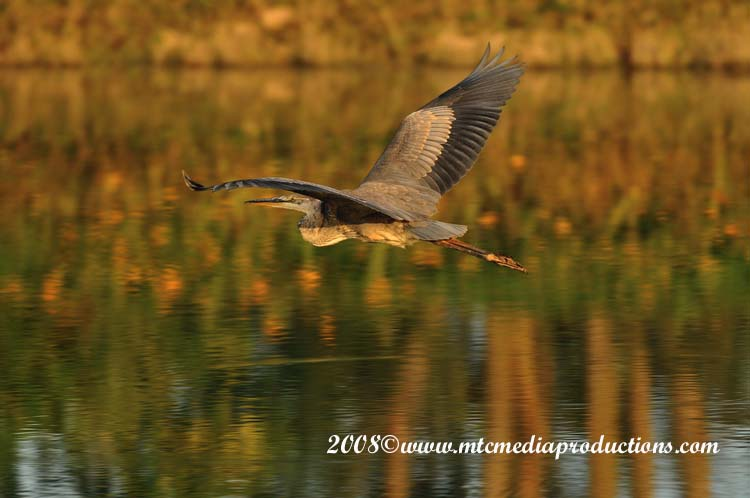 Blue Heron Picture-112