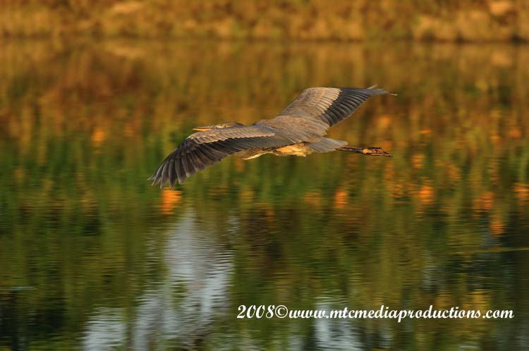 Blue Heron Picture-113