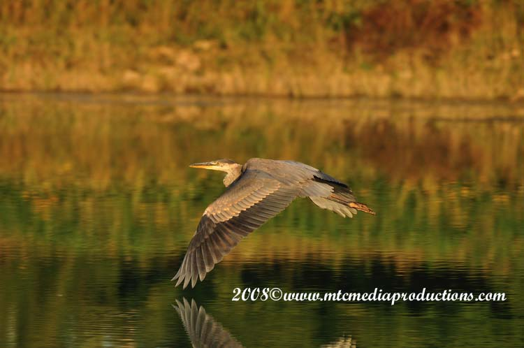 Blue Heron Picture-114