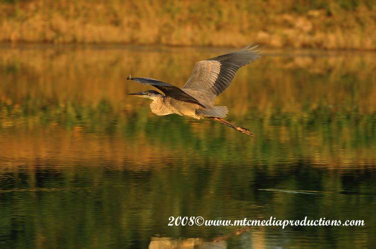 Blue Heron Picture-115